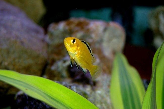 ярко-желтая африканская цихлида лабидохромис еллоу
