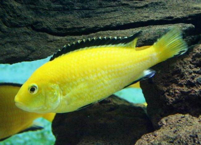 африканская цихлида ярко-желтого цвета лабидохромис еллоу в аквариуме