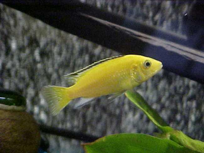 африканская цихлида лабидохромис еллоу или лабидохромис желтый в аквариуме