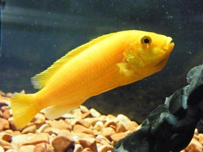 ярко-желтая цихлида-колибри в аквариуме
