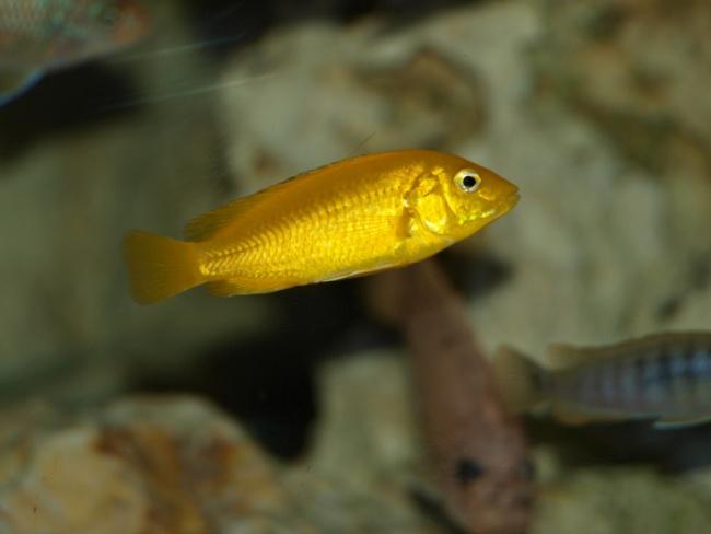 лабидохромис еллоу или цихлида-колибри в аквариуме с другими рыбками