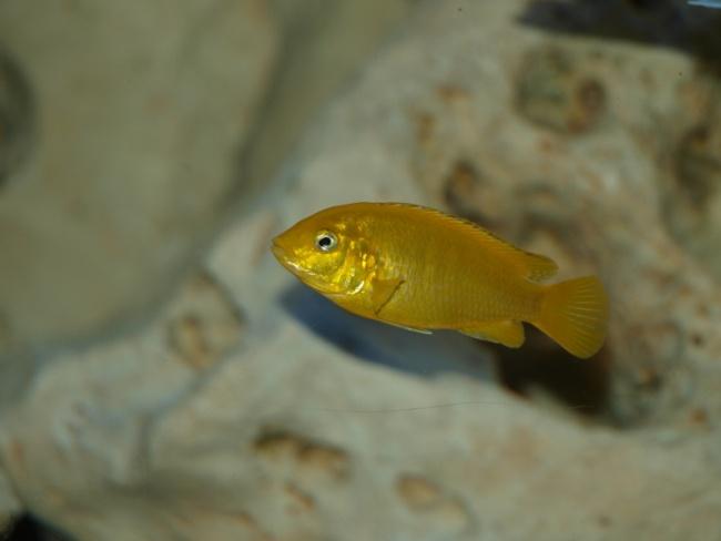 ярко-желтая рыбка семейства цихловых лабидохромис еллоу в аквариуме