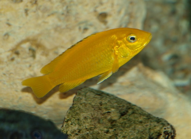 рыбка лабидохромис желтый плавает в аквариуме