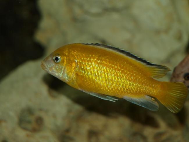 ярко-желтая цихлида озера малави лабидохромис еллоу в аквариуме