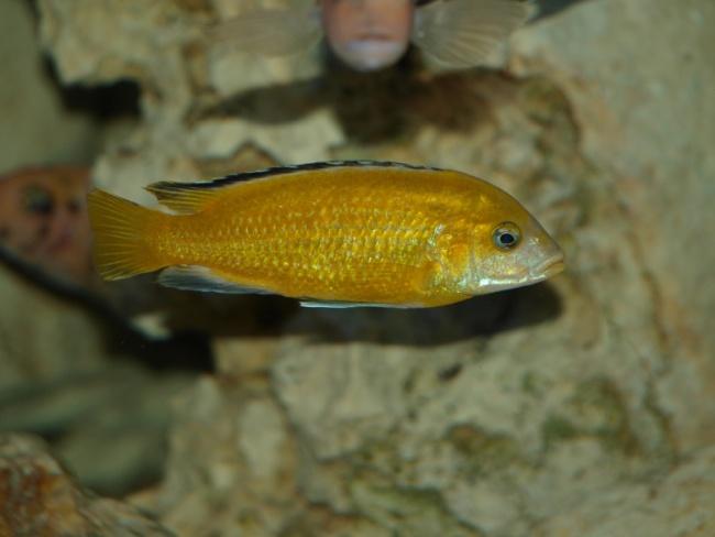 рыбка цихлида-колибри плавает в аквариуме