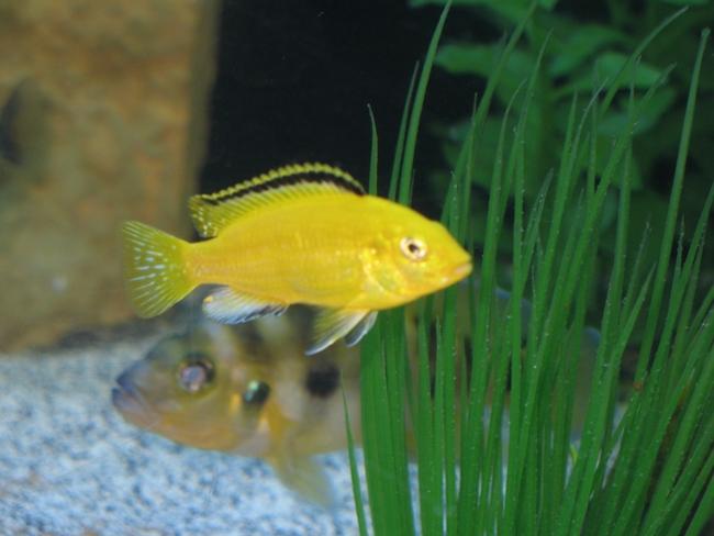 ярко-желтая цихлида-колибри плавает в аквариуме