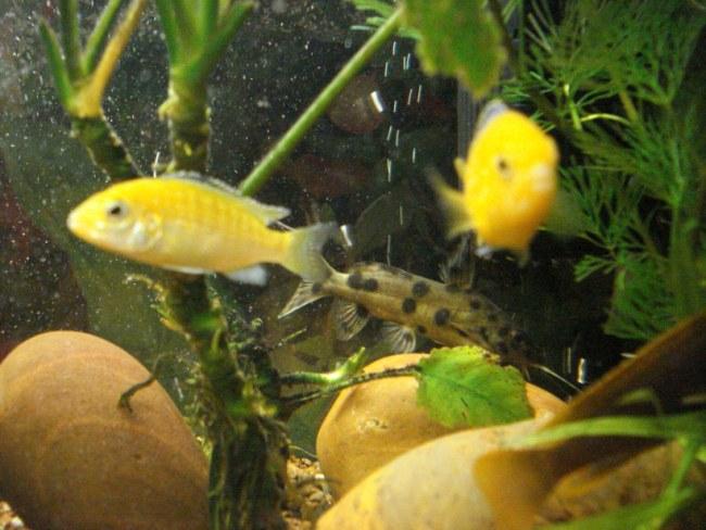 цихлиды лабидохромисы желтые