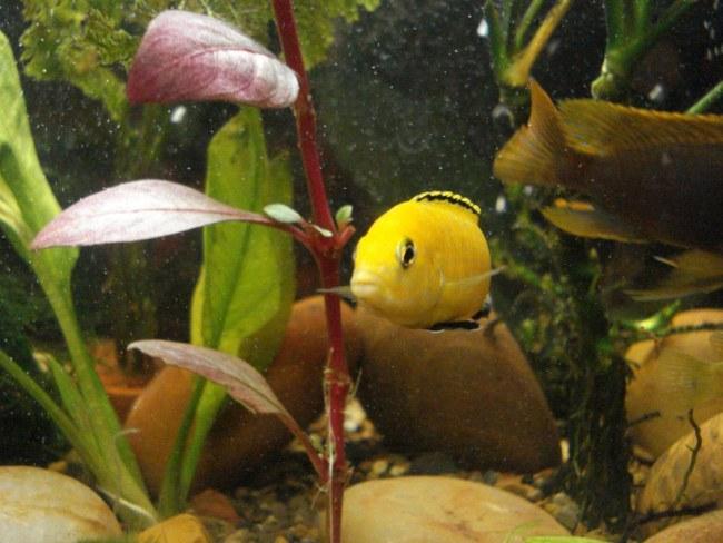 цихлида-колибри плавает в аквариуме среди растений