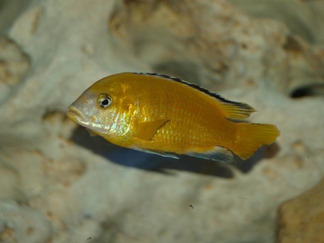аквариумная рыбка ярко-желтого цвета лабидохромис еллоу