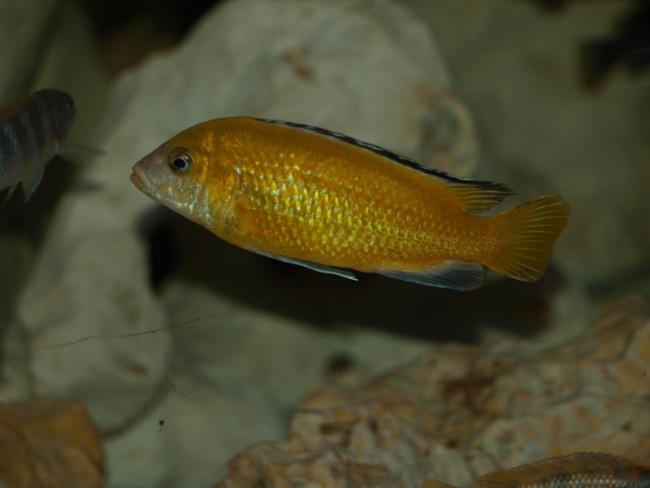 ярко-желтая рыбка семейства цихловых лабидохромис еллоу плавает в аквариуме