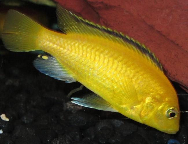 африканская цихлида ярко-желтого цвета лабидохромис еллоу