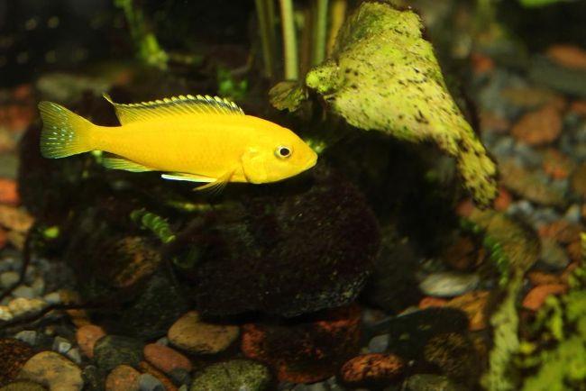 рыбка лабидохромис желтый или цихлида-колибри плавает в аквариуме