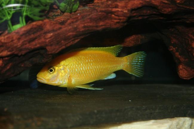 рыбка семейства цихловых лабидохромис желтый или цихлида-колибри плавает в аквариуме
