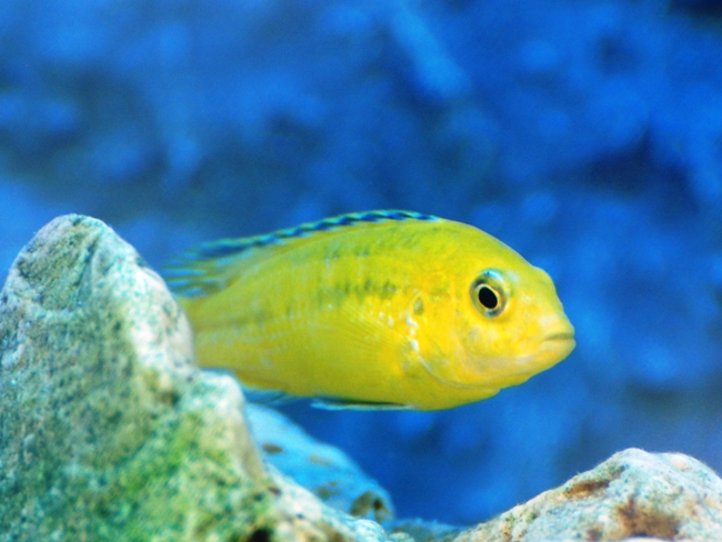 лабидохромис желтый
