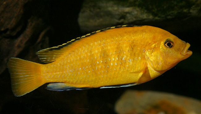 рыбка ярко-желтого цвета лабидохромис еллоу плавает в аквариуме