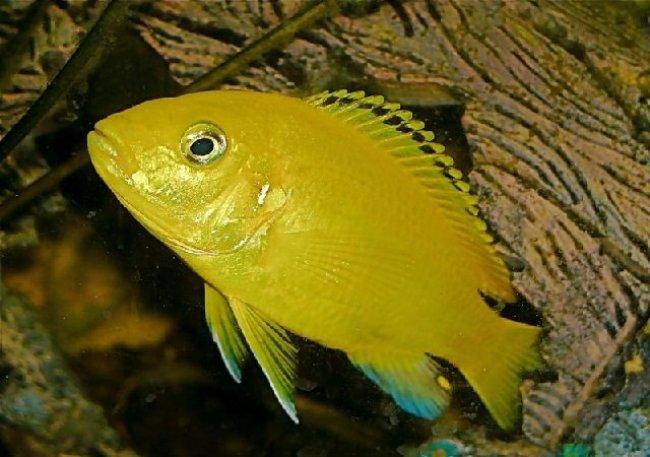 африканская цихлида ярко-желтого цвета лабидохромис еллоу плавает в аквариуме
