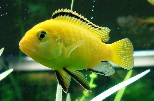 цихлида озера малави лабидохромис желтый или цихлида-колибри плавает в аквариуме