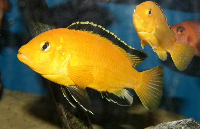 рыбки семейства цихловых лабидохромисы желтые