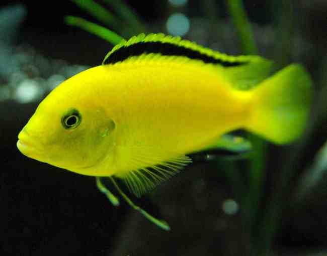 цихлида озера малави лабидохромис еллоу или лабидохромис желтый плавает в аквариуме