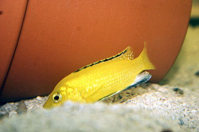 рыбка лабидохромис еллоу или лабидохромис желтый плавает в аквариуме
