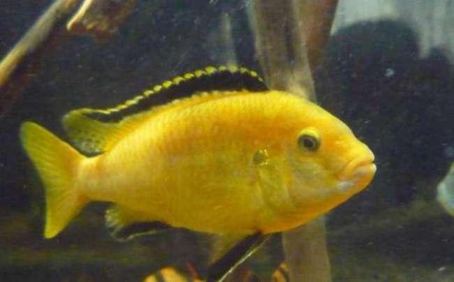 рыбка ярко-желтого цвета лабидохромис еллоу