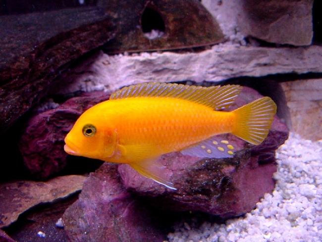африканская цихлида лабидохромис еллоу или лабидохромис желтый плавает в аквариуме