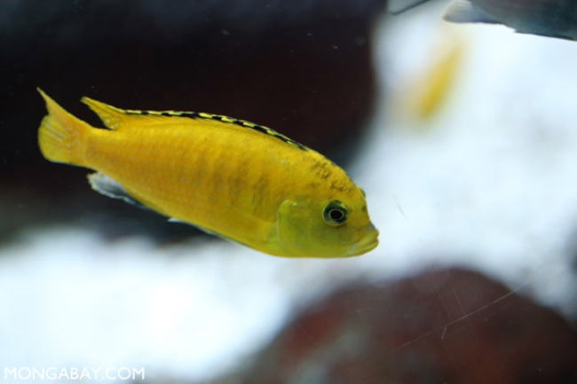 цихлида лабидохромис еллоу или лабидохромис желтый плавает в аквариуме