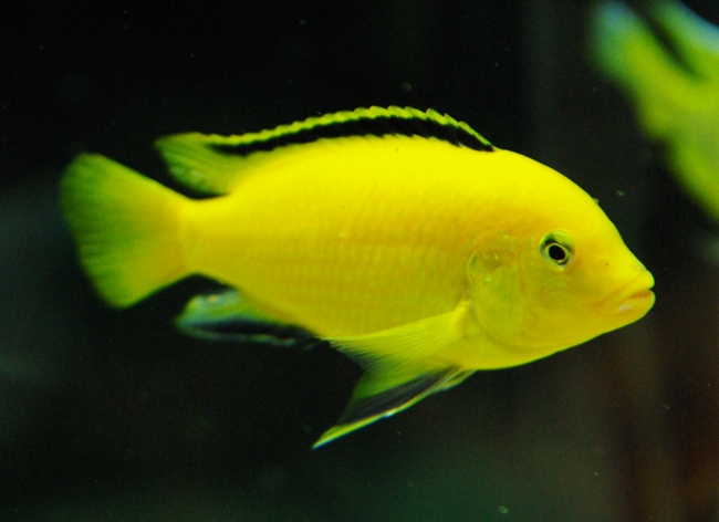 рыбка семейства цихловых лабидохромис еллоу или лабидохромис желтый плавает в аквариуме