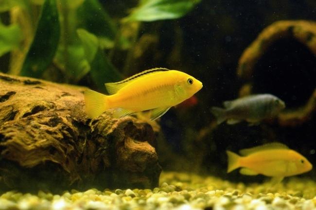 лабидохромисы еллоу в аквариуме с другими рыбками