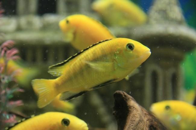 рыбки лабидохромисы еллоу в аквариуме