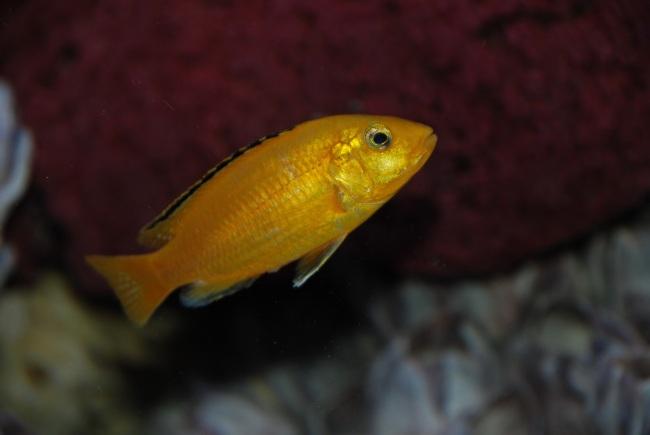 рыбка цихлида-колибри