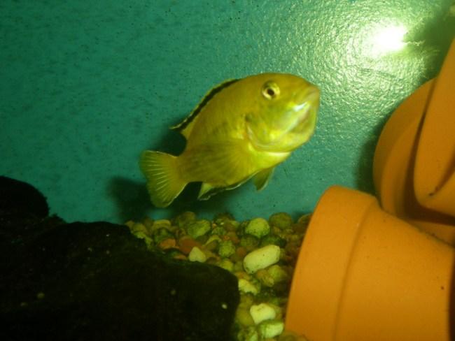 лабидохромис еллоу или лабидохромис желтый плавает в аквариуме