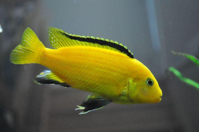 лабидохромис еллоу или лабидохромис желтый в аквариуме
