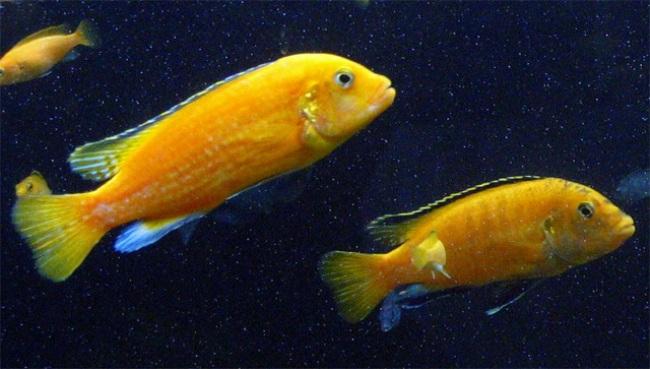 лабидохромисы еллоу плавают в аквариуме