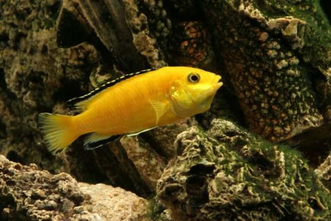 рыбка лабидохромис желтый