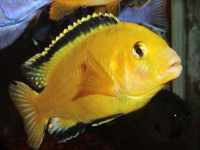 рыбка лабидохромис еллоу или цихлида-колибри
