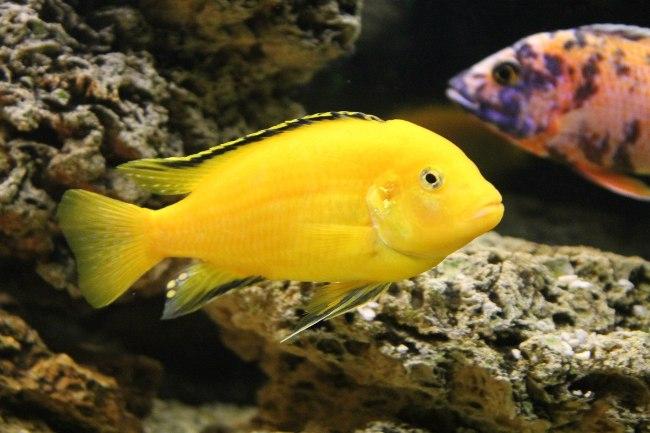 лабидохромис желтый или цихлида-колибри