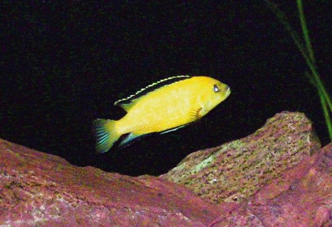 рыбка семейства цихловых лабидохромис желтый