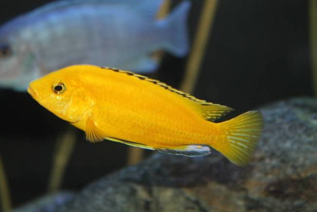 рыбка семейства цихловых лабидохромис желтый в аквариуме