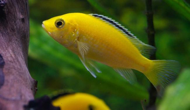 лабидохромис еллоу или лабидохромис желтый