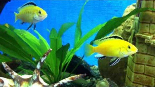 рыбки семейства цихловых лабидохромисы еллоу или лабидохромисы желтые плавают в аквариуме