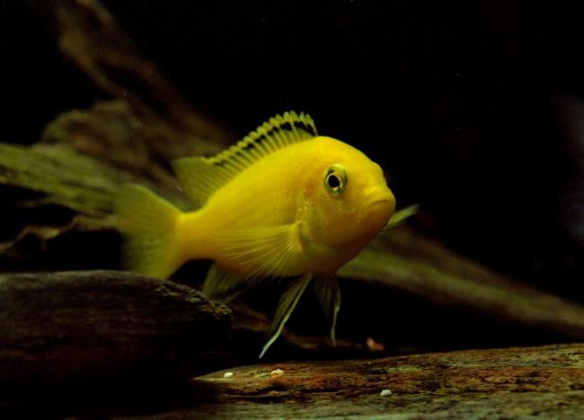 аквариумная рыбка цихлида-колибри