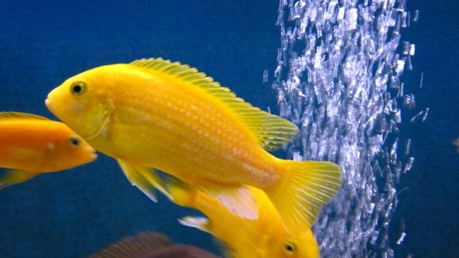 рыбка лабидохромис еллоу или цихлида-колибри в аквариуме