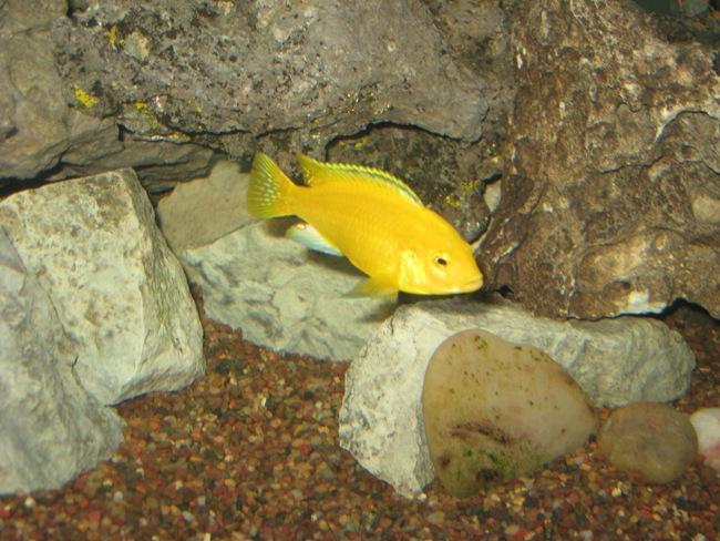 цихлида лабидохромис желтый или цихлида-колибри плавает в аквариуме