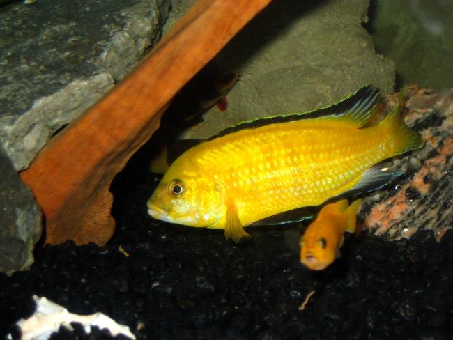 цихлида озера малави лабидохромис желтый в аквариуме