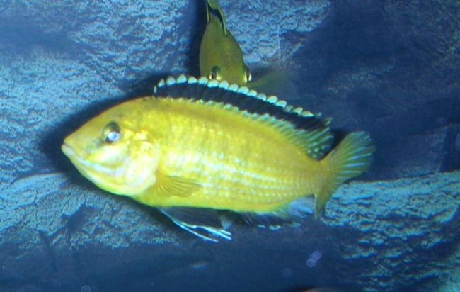 цихлида лабидохромис еллоу или цихлида-колибри в аквариуме