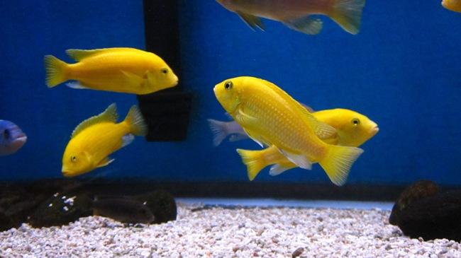 цихлиды лабидохромисы еллоу плавают в аквариуме