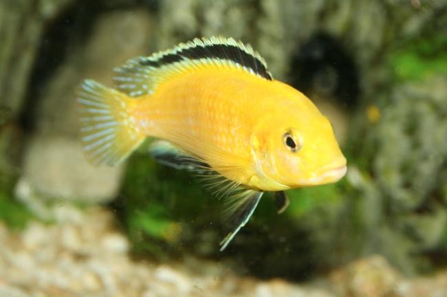 аквариумная рыбка лабидохромис еллоу
