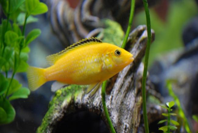 рыбка семейства цихловых лабидохромис еллоу или цихлида-колибри в аквариуме