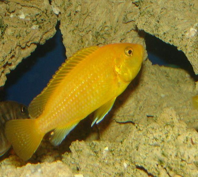 цихлида озера малави лабидохромис еллоу или цихлида-колибри в аквариуме
